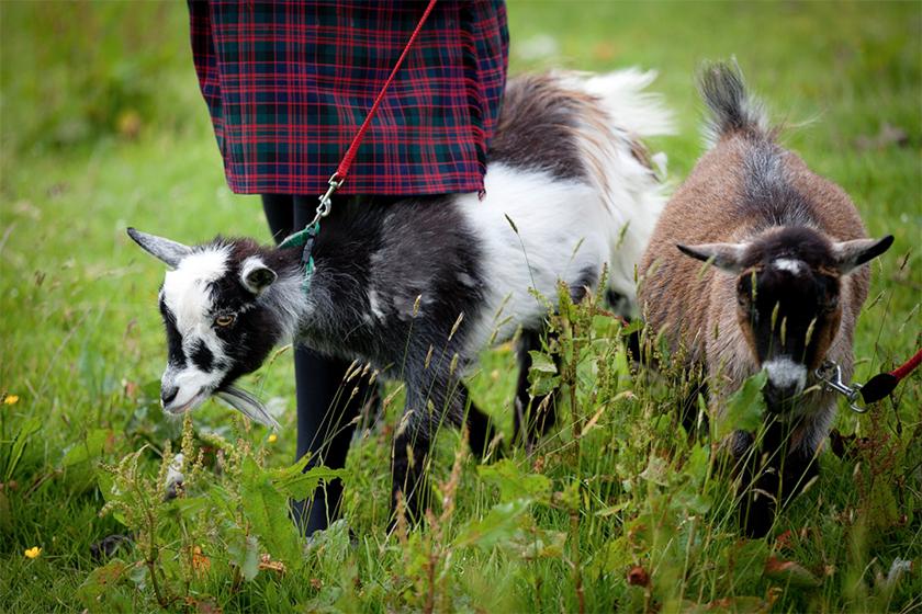 Sedbergh goats