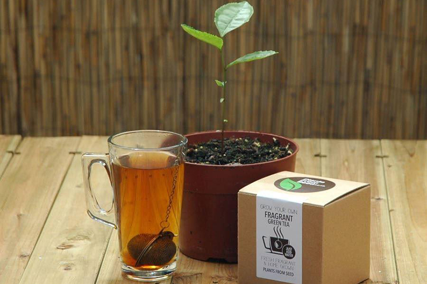 Grow Your Own Tea Plant