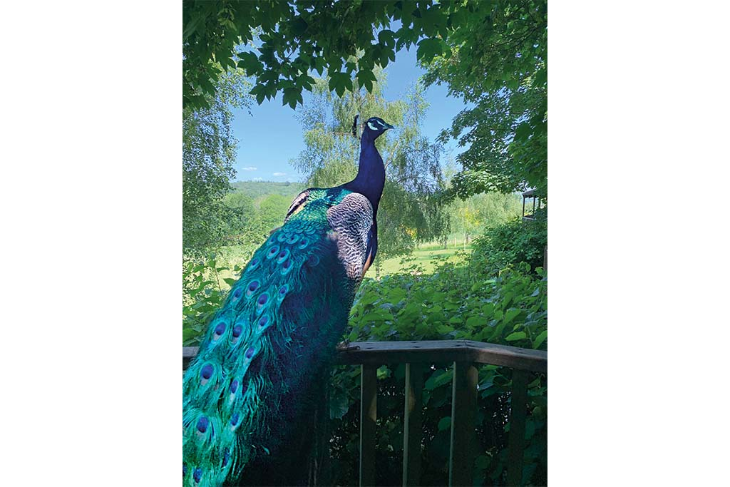 Mountjoy the Peacock outside Annabel's treehouse at Fair Oak Farm, East Sussex